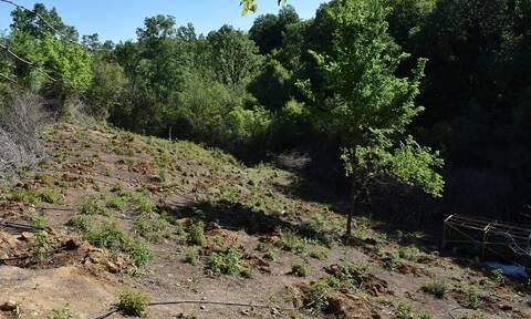 Κιλκίς: Εντοπίστηκε «δάσος» με δενδρύλλια κάνναβης – Προσπάθησαν να το σκάσουν οι δράστες