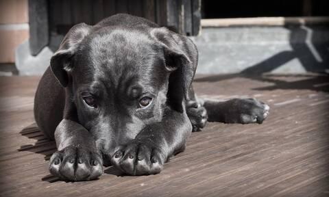 Συναγερμός για νέο κορονοϊό: Προέρχεται από τους σκύλους - Πιθανώς μεταδίδεται στον άνθρωπο