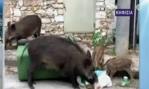 Τρόμος στην Κηφισιά με αγριογούρουνο που «απείλησε» μητέρα με μωρό στο καρότσι