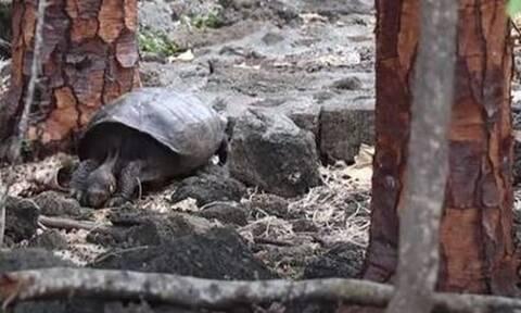 «Εξαφανισμένη» χελώνα επανεμφανίστηκε μετά από 100 χρόνια