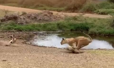 Λιοντάρι «την πέφτει» σε αντιλόπη και δείτε τι ακολουθεί!