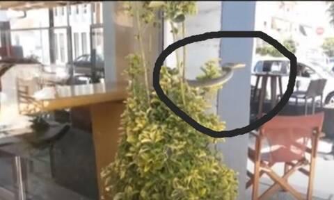Σέρρες: Πανικός σε καφετέρια - Φίδι πετάχτηκε μπροστά στους πελάτες (vid)