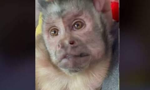 Θλίψη στο TikTok: Πέθανε διάσημη μαϊμού με 17 εκατ. ακολούθους