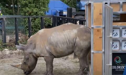 H «Έμμα» ο ρινόκερος έφθασε στην Ιαπωνία...αναζητώντας την αγάπη (Vid)