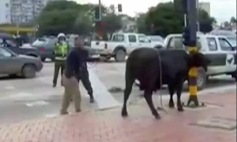 Βολιβία: Χάος με αγελάδες που ξέφυγαν από σφαγείο – Τέσσερις τραυματίες