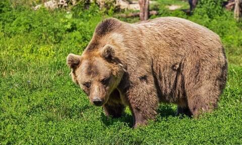 Τρόμος στη Σλοβακία: Η πρώτη θανατηφόρα επίθεση από καφέ αρκούδα εδώ και έναν αιώνα