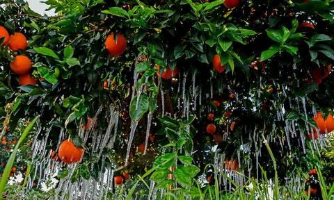 Αγρότες: Τέλη Ιουλίου η προκαταβολή του 40% των αποζημιώσεων για τον παγετό
