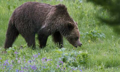 Iαπωνία: Τέσσερις τραυματίες απο αρκούδα που «βόλταρε» σε αεροδρόμιο και στρατιωτική βάση