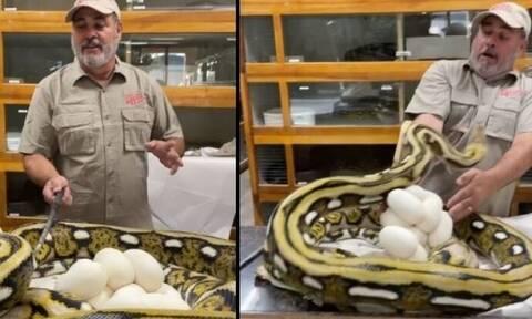 Η στιγμή που πύθωνας δαγκώνει στο πρόσωπο φύλακα για να προστατεύσει τα αυγά του (vid)