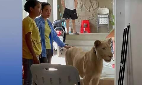 Καμπότζη: Είχε ως…κατοικίδιο ένα λιοντάρι - Τον πρόδωσε το TikTok (vid)