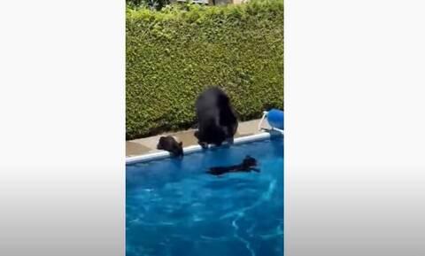 Καναδάς: Βουτιά δροσιάς σε πισίνα για τη μαμά αρκούδα και τα μικρά της (Vid)