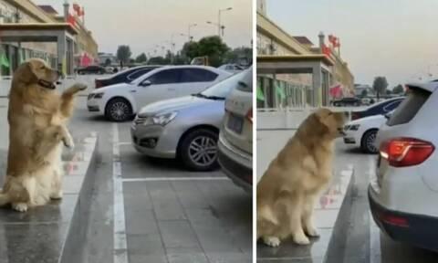 Σκύλος «παρκαδόρος» δίνει οδηγίες και ρίχνει το διαδίκτυο (video+photos)