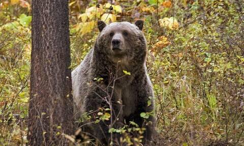 HΠΑ: Αρκούδα τράβηξε γυναίκα από τη σκηνή της και τη σκότωσε