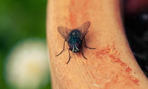 Πέντε τρόποι για να διώξετε τις μύγες από το σπίτι