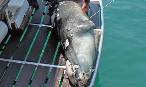 Σκότωσαν με ψαροντούφεκο τον «Κωστή», τη φώκια- μασκώτ της Αλοννήσου(ΦΩΤΟ)