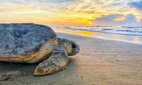 Θαλάσσια Ρύπανση: Εξελικτική «παγίδα» οδηγεί τις νεαρές θαλάσσιες χελώνες να καταπίνουν πλαστικά