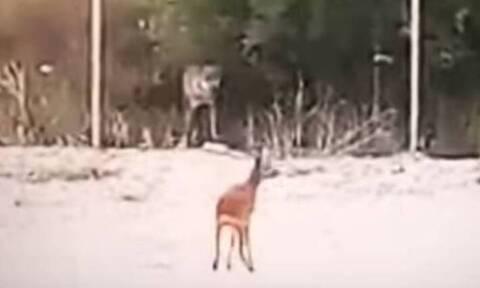 Χαλκιδική: Λύκος κυνηγάει ελάφι στον Πολύγυρο (vid)