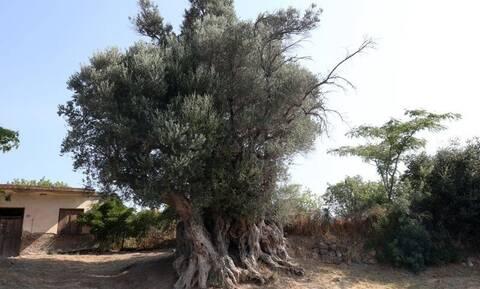Ελιά 2.700 ετών