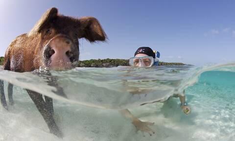 Σε αυτή τη χώρα άνθρωποι και γουρούνια πρέπει να κολυμπάνε μαζί!