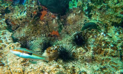 Προσοχή! Δηλητηριώδης αχινός στις ελληνικές θάλασσες - Πού έχει εντοπιστεί