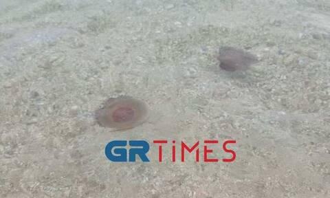 Χαλκιδική: Κοπάδι από μέδουσες στην Ολυμπιάδα (vid)