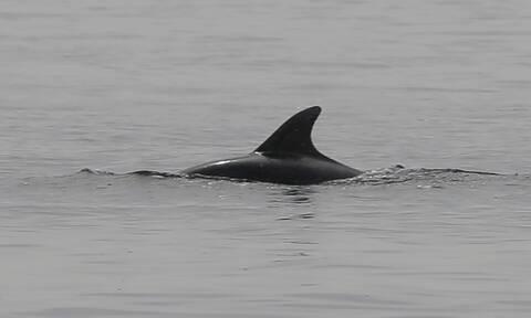Δελφίνια «διέσωσαν» κολυμβητή που ήταν αγνοούμενος για 12 ώρες