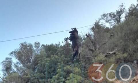 Κρήτη: Κριάρι κρεμάστηκε από καλώδιο