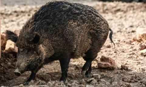 Περιφέρεια Αττικής: Να μετακινηθούν και να μη θανατωθούν οι αγριόχοιροι