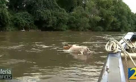 ΗΠΑ: Θρίλερ σε ποτάμι της Τζόρτζια - Γέμισε με 200 ακέφαλες κατσίκες (pics)