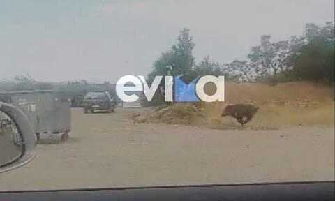 Χαλκίδα: Αγριογούρουνο έκανε βόλτες μέσα στην πόλη