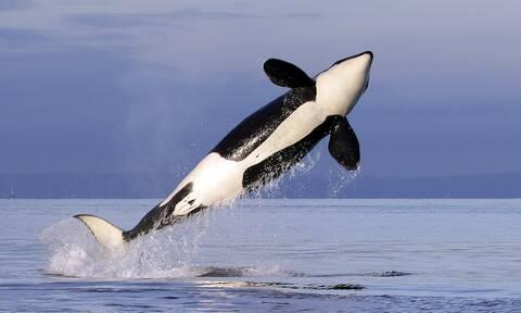 Καναδάς: «Η πιο μοναχική φάλαινα» στον κόσμο χτυπά το κεφάλι της στη δεξαμενή (video)
