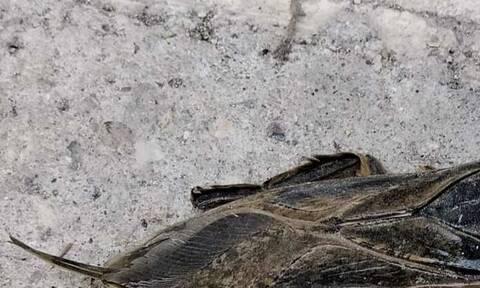 Συναγερμός στη Λάρισα μετά την εμφάνιση του γιγάντιου δηλητηριώδους υδρόβιου εντόμου
