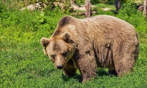 Κοζάνη: Πυροβόλησαν και σκότωσαν αρκούδα την περιοχή Βροντερό Πρέσπας