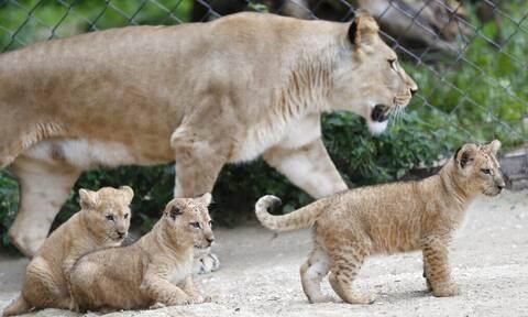 ΗΠΑ: Έξι λιοντάρια και τρεις τίγρεις του ζωολογικού κήπου της Ουάσιγκτον θετικά στον κορονοϊό