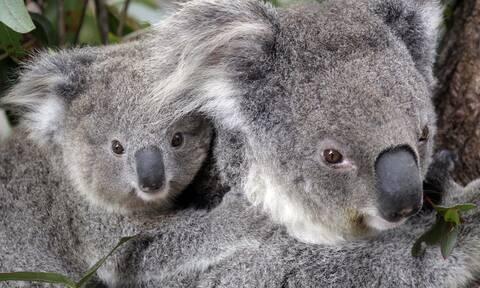 Koάλα στην Αυστραλία