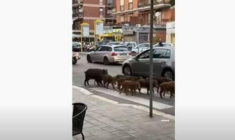 Δώδεκα αγριογούρουνα κόβουν βόλτες στους δρόμους της Ρώμης: Οι εικόνες που έγιναν viral