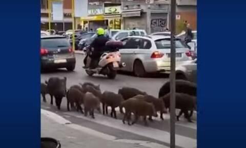 Χαμός στη Ρώμη από τις βόλτες των αγριογούρουνων – Έχουν γίνει όργανο πολιτικής μάχης (vid)