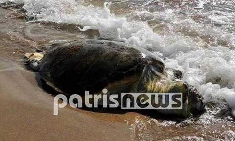 Ηλεία: Βρέθηκε νεκρή χελώνα Καρέτα-καρέτα στον Άγιο Ηλία