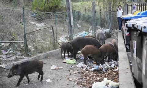 Ιταλία: Οι δημοτικές εκλογές στη Ρώμη, τα σκουπίδια και…η viral επέλαση των αγριόχοιρων