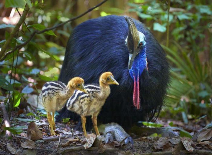 cassowary-ve-yavrular.jpg