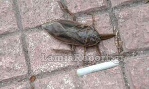 Συναγερμός ξανά στη Λαμία για τον «Λιθόκερο», το μεγαλύτερο δηλητηριώδες υδρόβιο έντομο
