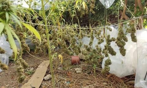 Ρέθυμνο: Εντοπίστηκε «μίνι» χασισοφυτεία - Συνελήφθη ο καλλιεργητής