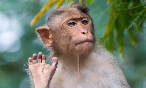 Ινδία: Μαϊμού πέταξε τούβλο από τον δεύτερο όροφο και σκότωσε περαστικό που τον πέτυχε στο κεφάλι