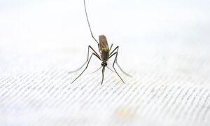 Πόσο απειλητικό είναι το κορεάτικο κουνούπι που μπορεί να έρθει στην Ελλάδα;