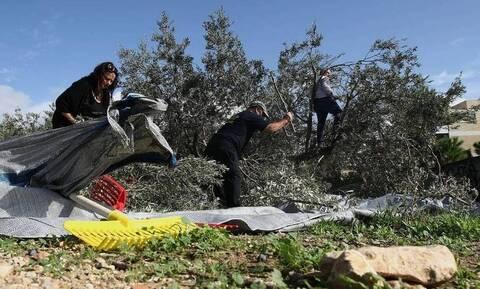 Κρήτη: Ολόκληρο χωριό παρουσίασε αλλεργία στο... μάζεμα της ελιάς!