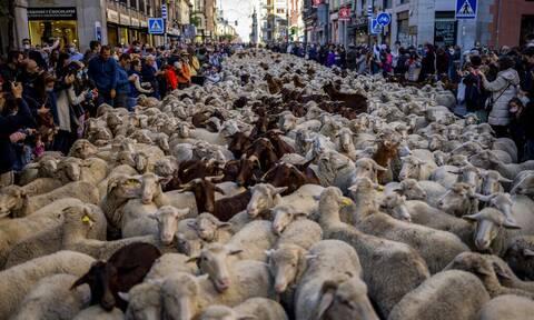 Ισπανία: Εντυπωσιακές εικόνες στην Μαδρίτη με χιλιάδες πρόβατα να διασχίζουν τους δρόμους