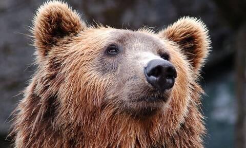 Θεσσαλονίκη: Αρκούδα κατέβηκε στις όχθες του Αξιού - Έσπασε κυψέλες για να φάει μέλι