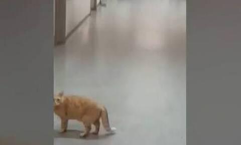Απίστευτες εικόνες σε νοσοκομείο της Αττικής: Γάτες βολτάρουν ανενόχλητες στους διαδρόμους (vid)